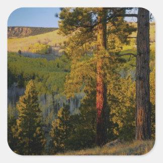 UTAH. Ponderosa pines & aspen, autumn. Sunrise, Square Sticker