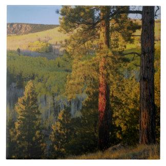 UTAH. Ponderosa pines & aspen, autumn. Sunrise, Tile