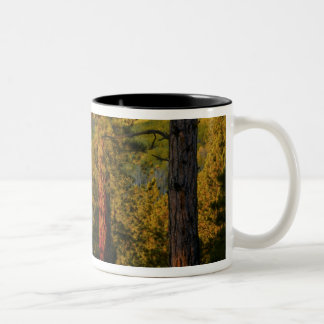 UTAH. Ponderosa pines & aspen, autumn. Sunrise, Two-Tone Coffee Mug