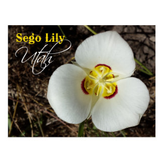 Utah State Flower: Sego Lily Postcard