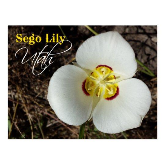 Utah State Flower Sego Lily Postcard Zazzle Com