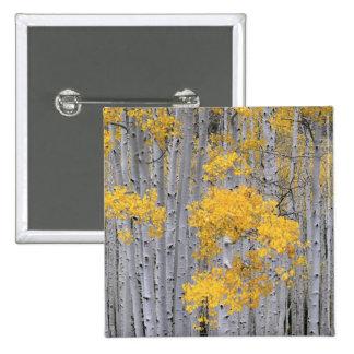 UTAH. USA. Aspen grove (Populus tremuloides) in 2 Inch Square Button