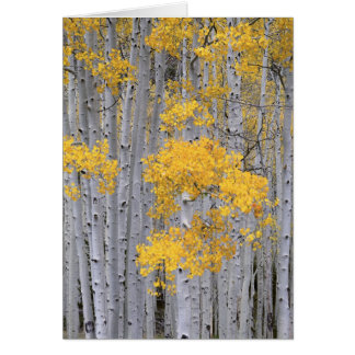 UTAH. USA. Aspen grove (Populus tremuloides) in Card