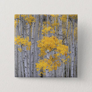 UTAH. USA. Aspen grove (Populus tremuloides) in Pinback Button
