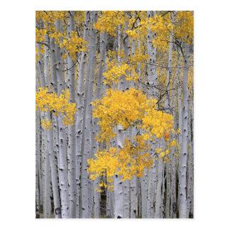 UTAH. USA. Aspen grove (Populus tremuloides) in Postcard