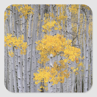 UTAH. USA. Aspen grove (Populus tremuloides) in Sticker