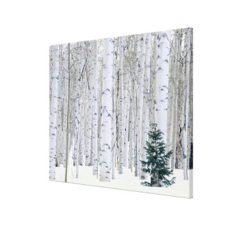 UTAH. USA. Aspen (Populus tremuloides) & Douglas Canvas Print