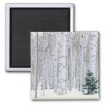 UTAH. USA. Aspen (Populus tremuloides) & Douglas Refrigerator Magnets
