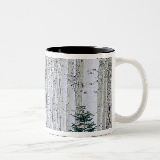 UTAH. USA. Aspen (Populus tremuloides) & Douglas Mugs