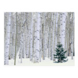 UTAH. USA. Aspen (Populus tremuloides) & Douglas Postcards
