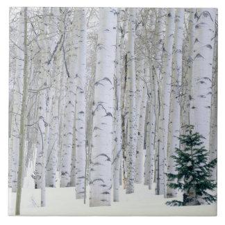 UTAH. USA. Aspen (Populus tremuloides) & Douglas Tile
