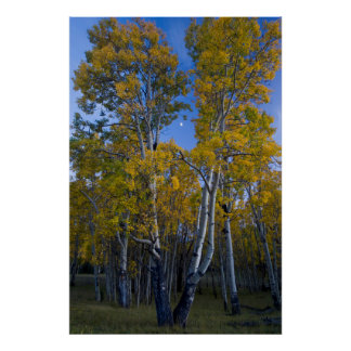 Utah. USA. Aspen Trees And Moon At Dusk Poster