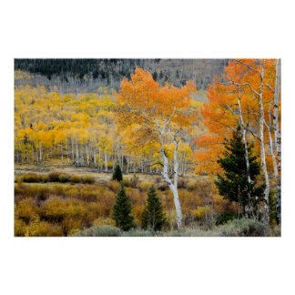 Utah, USA. Aspen Trees And Willow Thickets Poster