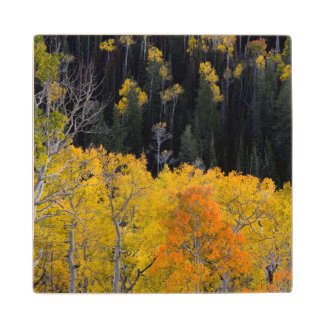 Utah. USA. Aspen Trees In Autumn On The Sevier Wooden Coaster