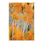 Utah, USA. Aspen Trees (Populus Tremuloides) 4 Canvas Print