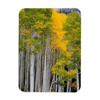 Utah. USA. Aspen Trees (Populus Tremuloides) Magnets