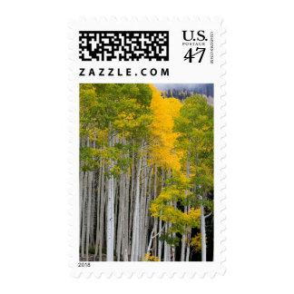 Utah. USA. Aspen Trees (Populus Tremuloides) Stamp