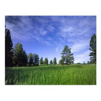 UTAH. USA. Ponderosa pines Pinus ponderosa) & Postcard