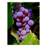 Uvas de concordia de Idaho Impresiones