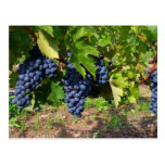 Uvas de concordia en la postal de la vid
