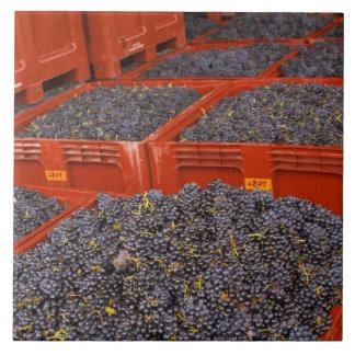 Uvas de Gamay apenas adentro de la cosecha en Azulejo Cuadrado Grande
