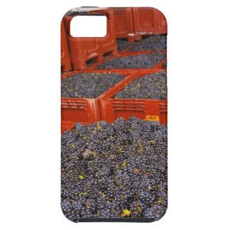 Uvas de Gamay apenas adentro de la cosecha en iPhone 5 Cobertura