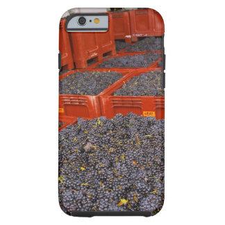 Uvas de Gamay apenas adentro de la cosecha en Funda De iPhone 6 Tough