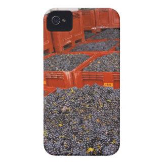 Uvas de Gamay apenas adentro de la cosecha en Case-Mate iPhone 4 Funda