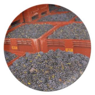 Uvas de Gamay apenas adentro de la cosecha en Plato De Cena