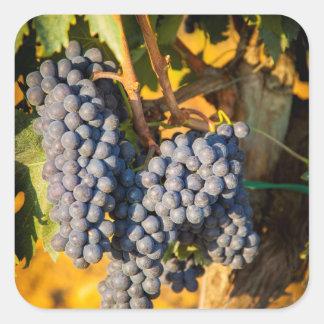 Uvas de Sangiovese en un viñedo Colcomanias Cuadradass