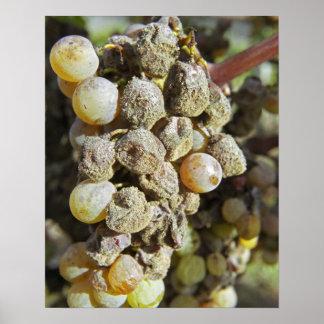 Uvas de Semillon con la putrefacción noble. en el  Impresiones
