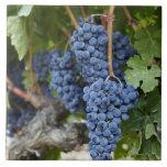 Uvas de vino rojo en la vid azulejo