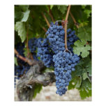 Uvas de vino rojo en la vid impresiones