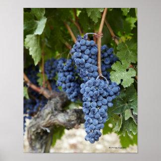 Uvas de vino rojo en la vid posters