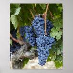 Uvas de vino rojo en la vid póster