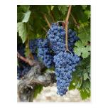 Uvas de vino rojo en la vid tarjetas postales