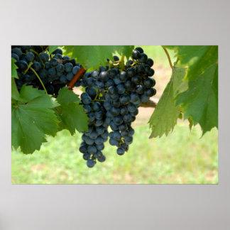 uvas del viñedo póster