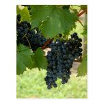Uvas del viñedo tarjeta postal