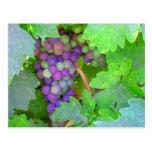 Uvas en la vid postal