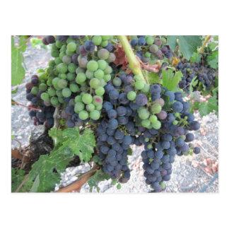 Uvas en la vid, viñedo de la colina de Aron Tarjeta Postal