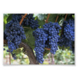Uvas listas para la cosecha posters