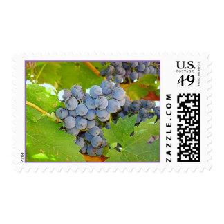 Uvas púrpuras del lagar en la cosecha sello