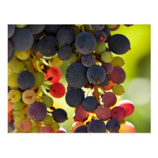 Uvas rojas en la vid usada para hacer el vino postal