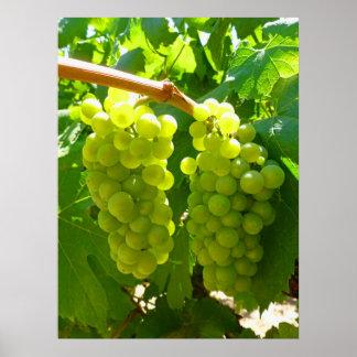 Uvas verdes en la vid poster