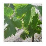 Uvas verdes jovenes en la vid en primavera tejas  cerámicas