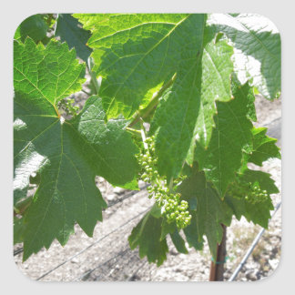 Uvas verdes jovenes en la vid en primavera calcomanía cuadradas personalizadas