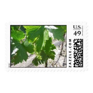 Uvas verdes jovenes en la vid en primavera envio