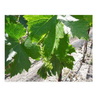 Uvas verdes jovenes en la vid en primavera postal