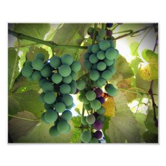 Uvas verdes y púrpuras en la impresión del viñedo  fotografías
