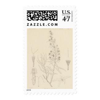 V Brickellia longifolia Postage